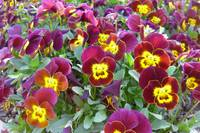Maroon Yellow Pansies