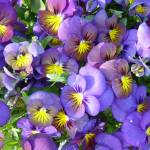 """""""Purple & Yellow Pansies"""" by IcePic"""