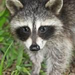 """Baby Raccoon"" by kcmodb"