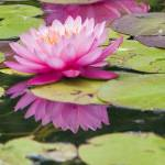 """Water Lily #2"" by cfu1"
