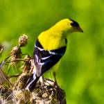 """American Goldfinch"" by ROBERTSCOTTPHOTOGRAPHYY"