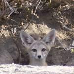 """""""Desert Fox in Utah"""" by misckate"""