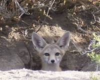 Desert Fox in Utah
