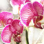 """fuschia orchids"" by pietrastone"