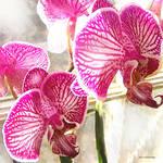 """fuschia orchids"" by pietrastone"