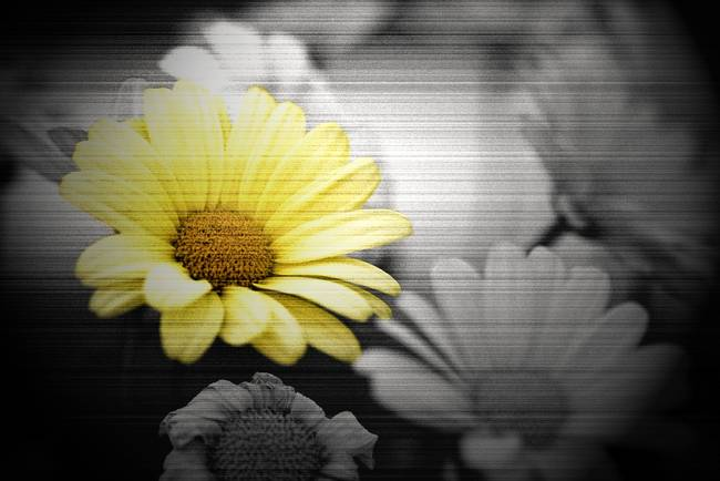 Black And White Photography With Yellow Color Splash Daisys in Black and White with