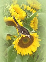 Mockingbird and Sunflowers