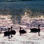 """""""Geese after Sunset"""" by bleij50"""