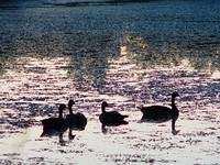 Geese after Sunset