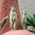 """Meerkat, Wellington Zoo"" by bobgoh"