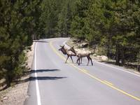Elk in the road