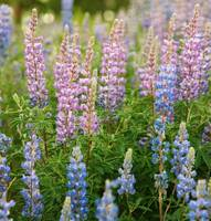 lupines2