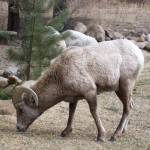 """""""Big Horn Sheep"""" by misckate"""