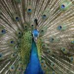 """""""Indian Blue Peacock Exotic Birds"""" by sharonmau"""