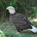 """""""Regal Eagle"""" by WaysideTX"""