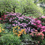 """Simply Rhododendrons"" by Groecar"