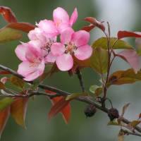 Apple Blossoms by Roger Dullinger