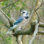 """Blue Jay"" by pebarber"
