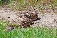Gopher snakes mating