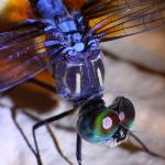 """Dragonfly Closeup"" by davidfosterlay"
