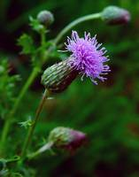 Swamp Thistle, I Think