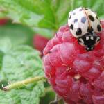 """white ladybug on red raspberry"" by lisa_w"