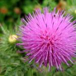 """Giant Thistle bloom"" by lisa_w"