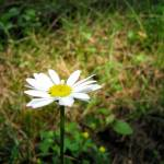 """Lightly illuminated daisy"" by lisa_w"
