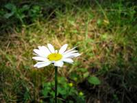 Lightly illuminated daisy