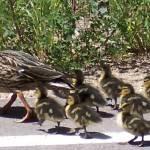 """Ducks"" by misckate"