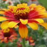 """Gaillardia aristata 1"" by lisa_w"