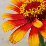 """Gaillardia aristata 2"" by lisa_w"