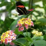 """Butterfly on pink and yellow flowers"" by lisa_w"