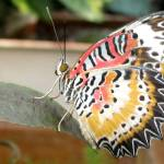 """Multi-colored butterfly"" by lisa_w"