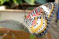 Multi-colored butterfly