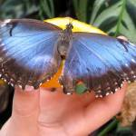 """Morpho Butterfly eating an orange"" by lisa_w"