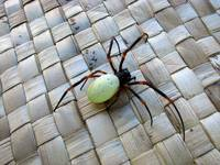 Large-bodied spider from Fiji
