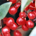 """""""Red Berries 1t"""" by brucet"""