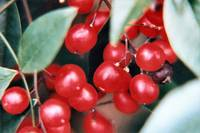 Red Berries 1t