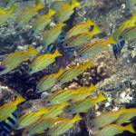 """Blue Striped Snappers - Hawaii Shore Fish"" by Islander7"