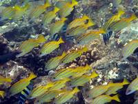 Blue Striped Snappers - Hawaii Shore Fish
