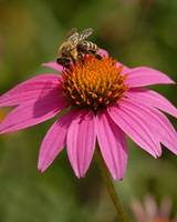 Cone Flowers & Bee