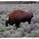 """Buffalo in Yellowstone"" by jbjoani2"