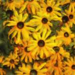 """Black eyed Susans"" by mzzdori"