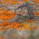 """""""Thrasher in Poppy Field"""" by KatRosePhotography"""