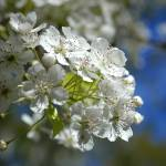 """""""White Cherry Blossoms"""" by KatRosePhotography"""