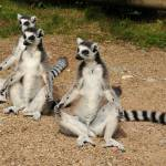 """Yoga Lemurs"" by KatRosePhotography"