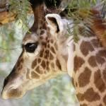 """Baby Giraffe"" by KatRosePhotography"