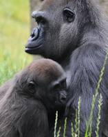 Silver-back Gorilla Mother Suckling Baby