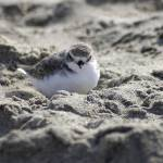 """Snowy Plover at rest"" by KatRosePhotography"